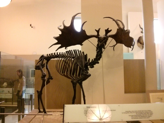 "Megaloceros giganteus ""giant horn"""