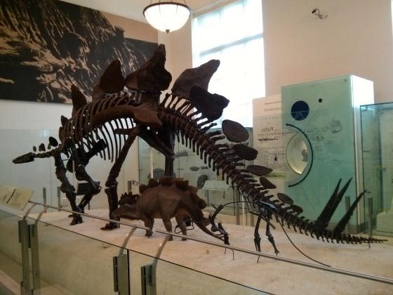 "Stegosaurus stenops ""plated reptile"""