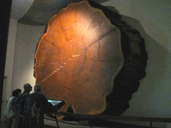 Giant Sequoia, containing 1342 annual rings